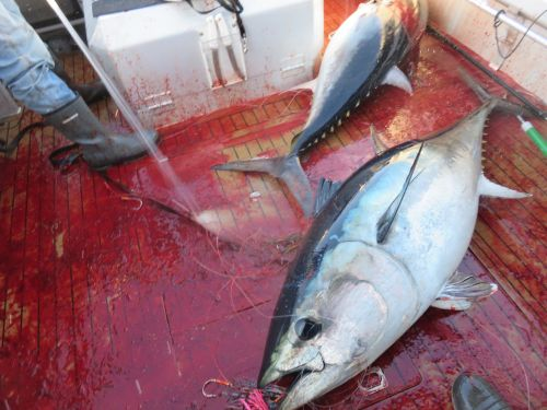 bluefin and blood
